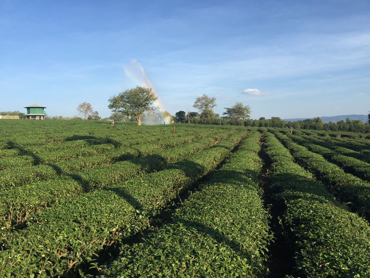 Suwirun Tea Farm